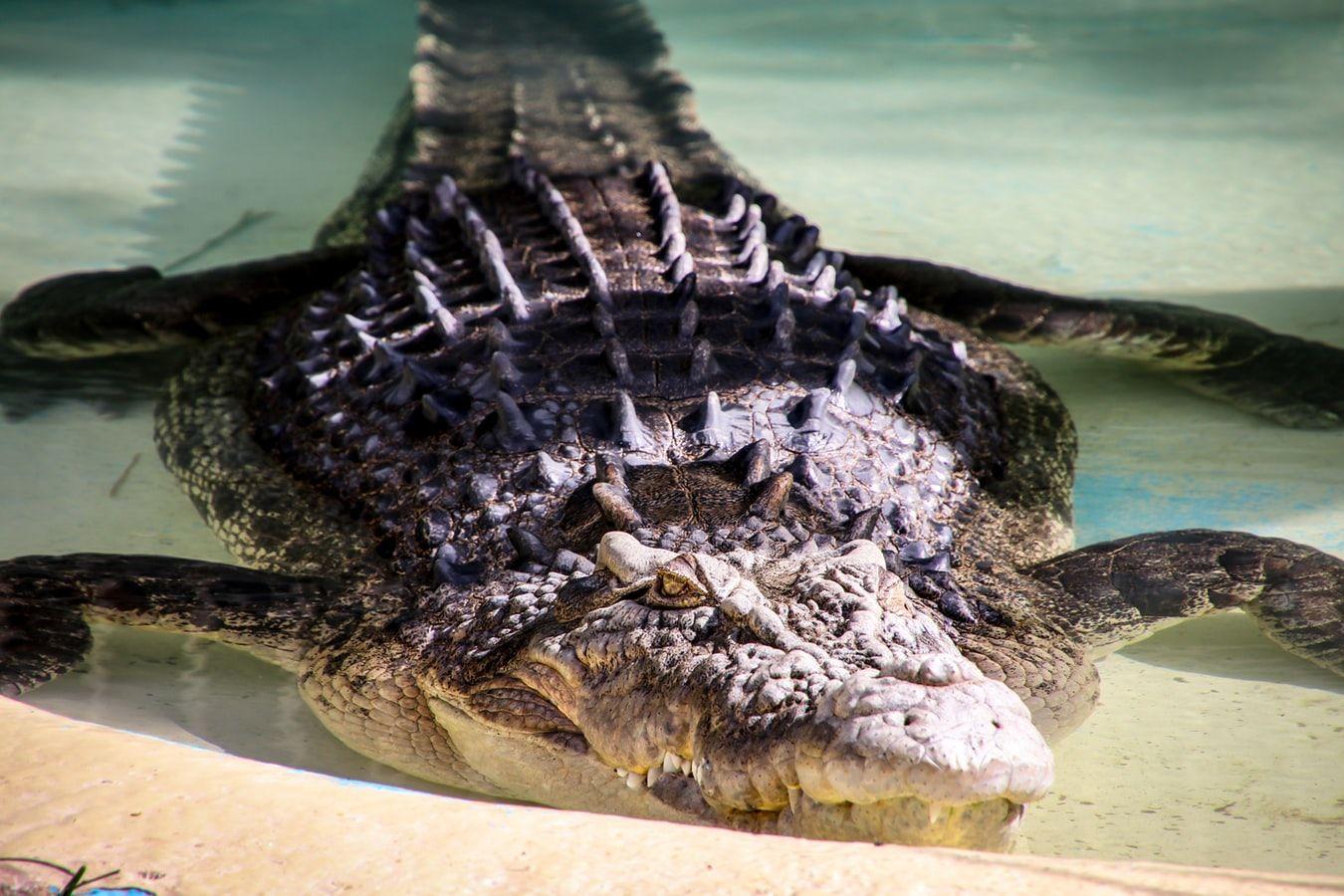 crocodile st augustine